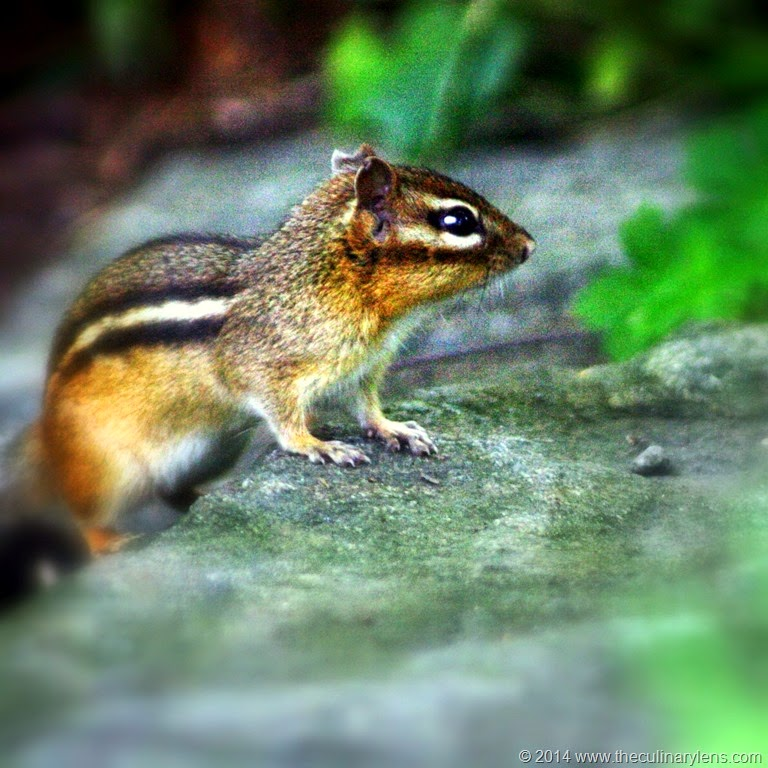 [chipmunk-bronx-nybg-wildlife-nyc%255B12%255D.jpg]