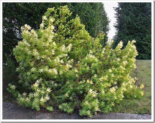 120211_UCSC_Arboretum_Leucadendron-discolor-Cloudbank-Ginny_07
