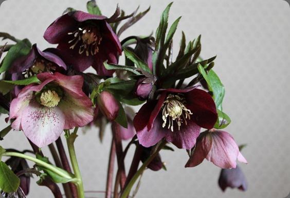 479986_308884902573647_2091344015_n hellebores blue poppy florist