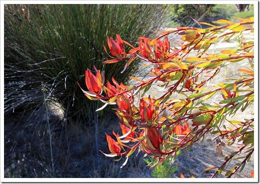 121027_UCSCArboretum_Leucadendron-salignum-Rising-Sun_03