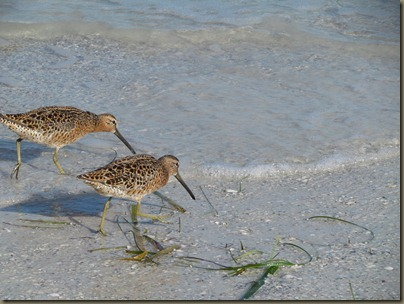 Dowitcher snipe family