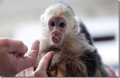 monyet-justin-bieber