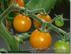 Gule cherrytomater
