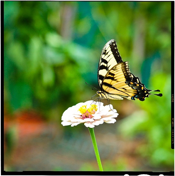 butterfly-6582a