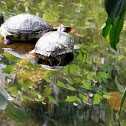 Be red eared slider or galápago de florida
