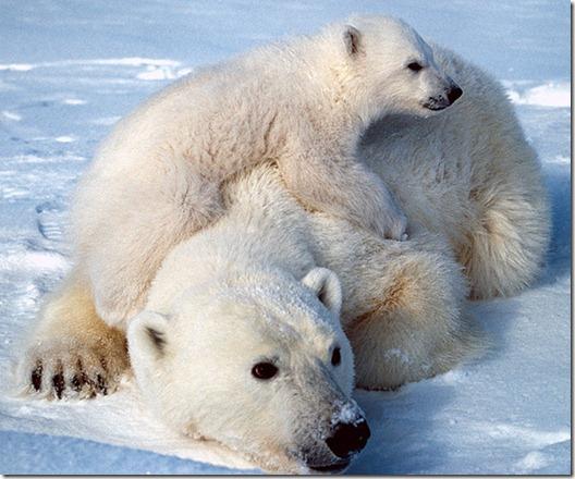 orso-polare-bianco