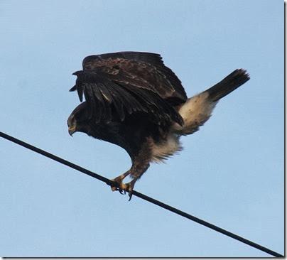 buzzard-3