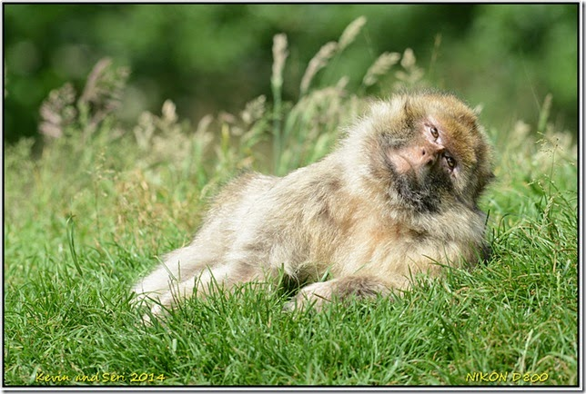 Trentham Monkey Forest - Macaques