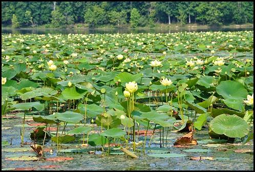 05v - Crossing Honker Dam - Honker Lake Invasive Water Lilies
