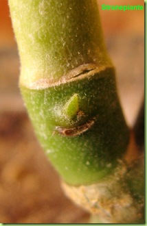 Pedilanthus germoglio