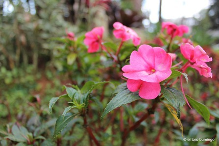 the flowers of baguio