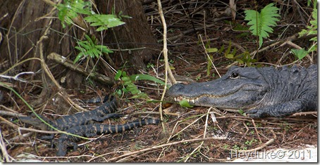 Mama Gator with two babies