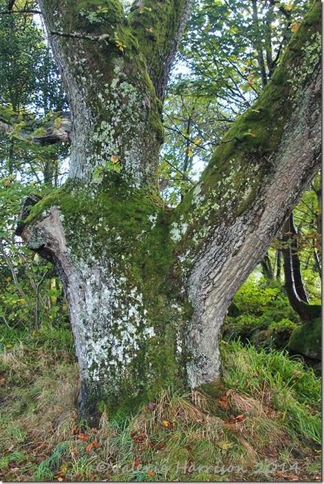 9-old-oak