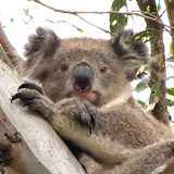 Make a home for Koala Clancy!