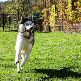 Maya by Darkeyes Photography - Animals - Dogs Playing ( playing, husky, dog, photography, animal )