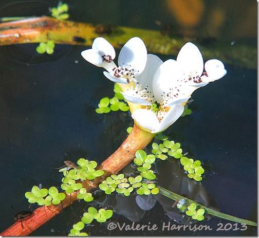 Water-hawthorn