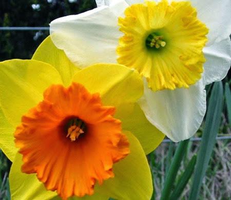 Daffodils 012