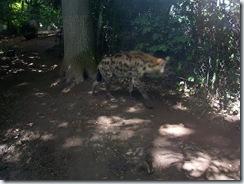 2011.07.26-010 hyène tachetée