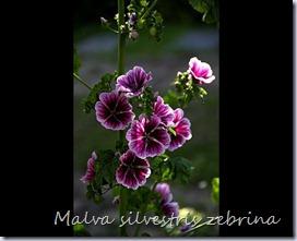Malva-sylvestris-Zebrina-copie-1