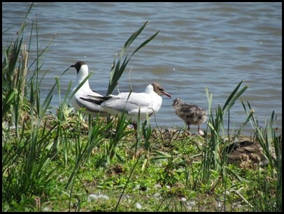 B Avocet and gull Chick