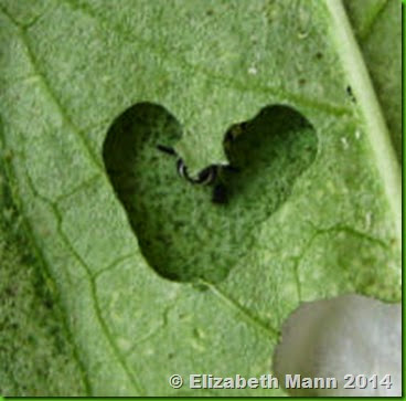 Monarch heart