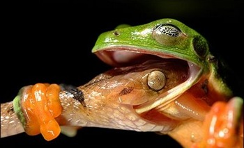 The bug-eyed tree frog