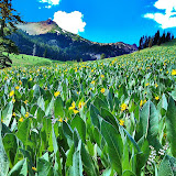 Arrowleaf Balsam Root & Mountain Mule Ears