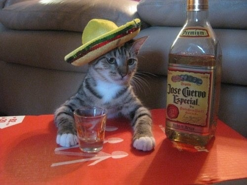 Can-cat-drink-alcohol-11