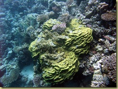 RD Lettuce Coral