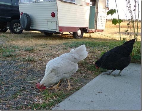 chicks 094