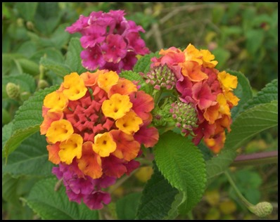 Lantana_camara_flowers_2