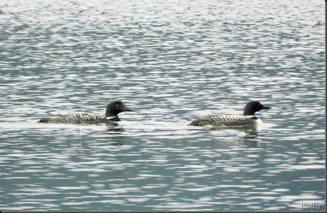 Couple of Common Loon