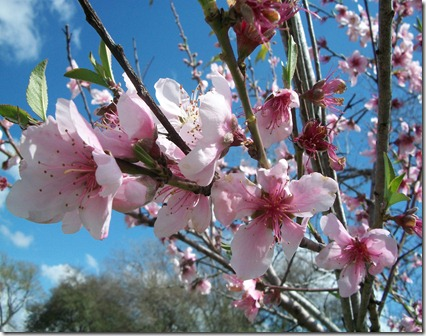 Peach Blossoms 2012 003