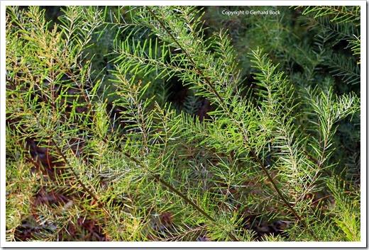 131124_UCD_Arboretum_AustralianCollection_Acacia-boormanii_04