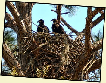 05a - Bald Eagle Chicks
