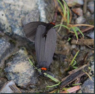 Red-necked-Footmen (2)