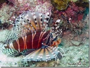Mombasa LionFish