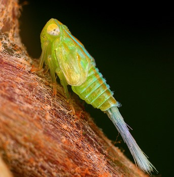 Amazing Pictures of Animals, photo, Nature, exotic, funny, incredibel, Zoo, Leafhopper, Insecta, Alex (2)