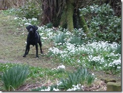 drm c snowdrops  and dog