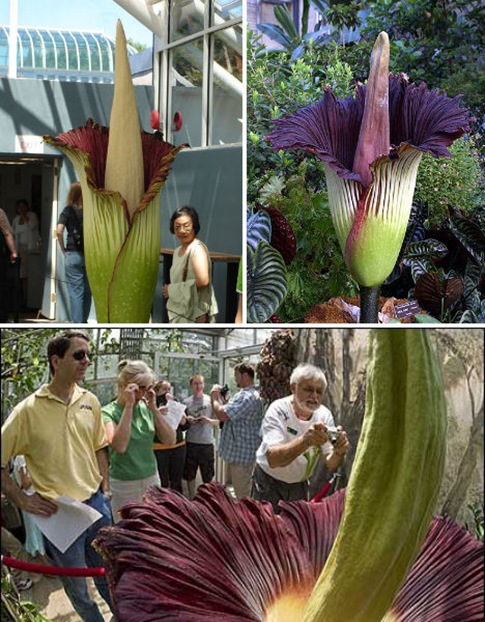 The Corpse Flower, Amorphophallus Titanum