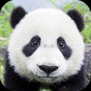 app how to draw panda apk for windows phone
