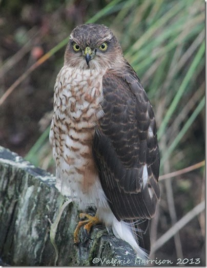 sparrowhawk-1