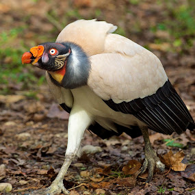 This King Is In A Hurry by Roy Walter - Animals Birds ( captivity, animals, raptor, king vulture, birds )