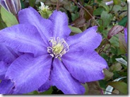 ws blue clematis
