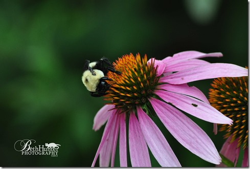 bee-coneflower-1620-wb