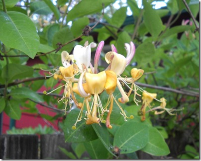 honeysucklecloseup