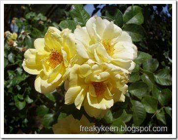 MCC Rose Garden 3