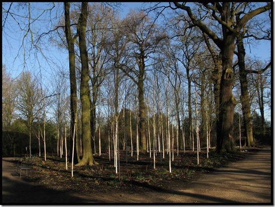 Silver birch grove