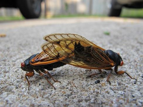 mating cicadas on ground2