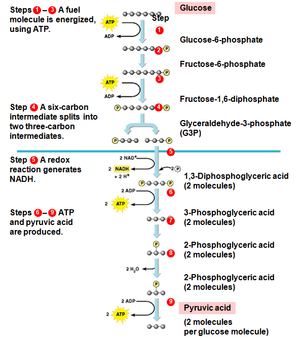 Steps involved in glycolysis